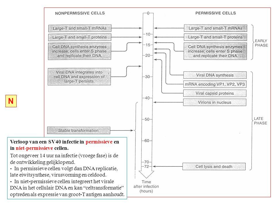 N Verloop van een SV40 infectie in permissieve en
