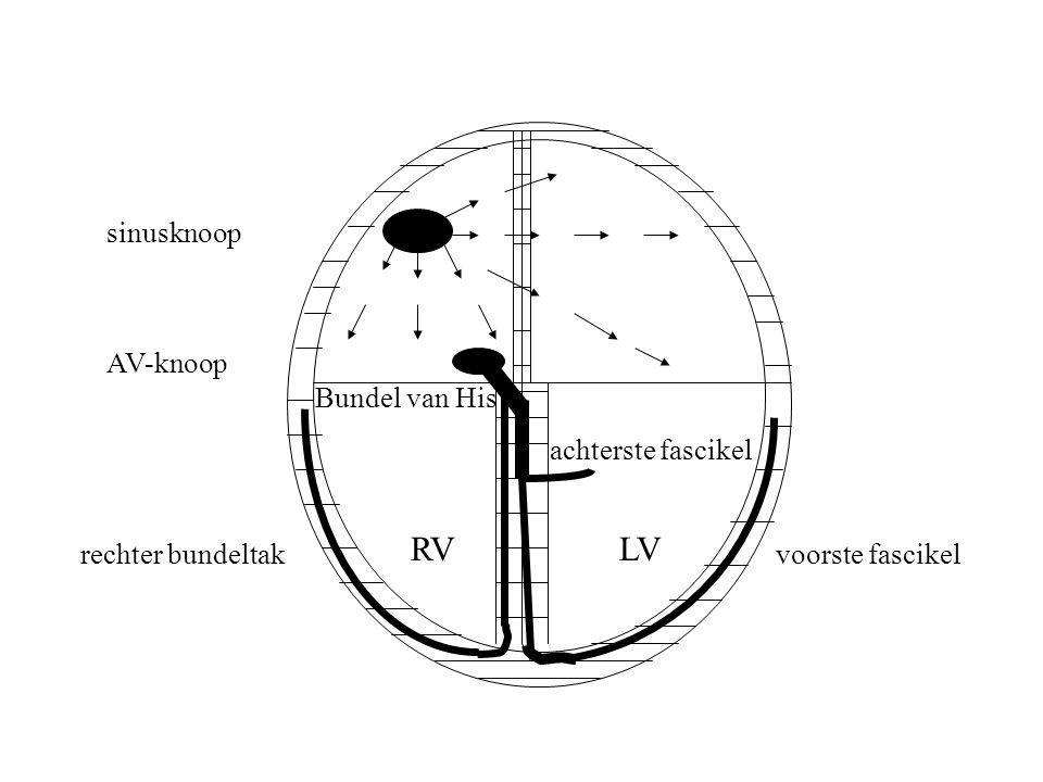 RV LV sinusknoop AV-knoop Bundel van His achterste fascikel