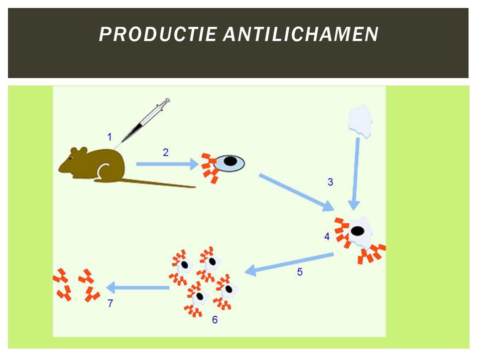 Productie antilichamen