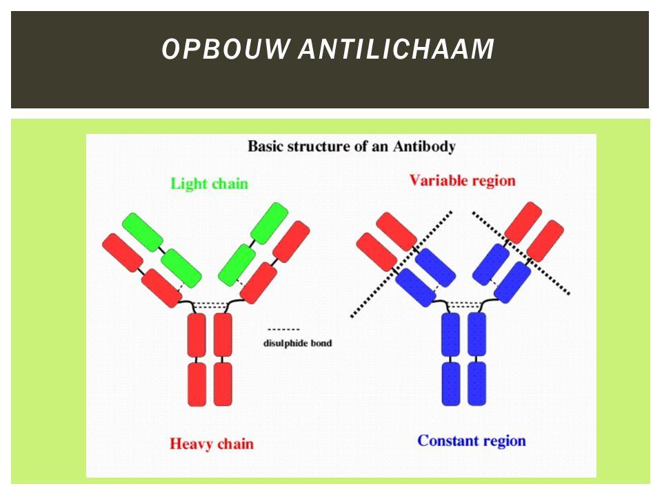 Opbouw antilichaam