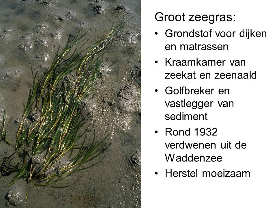 Groot zeegras: Grondstof voor dijken en matrassen