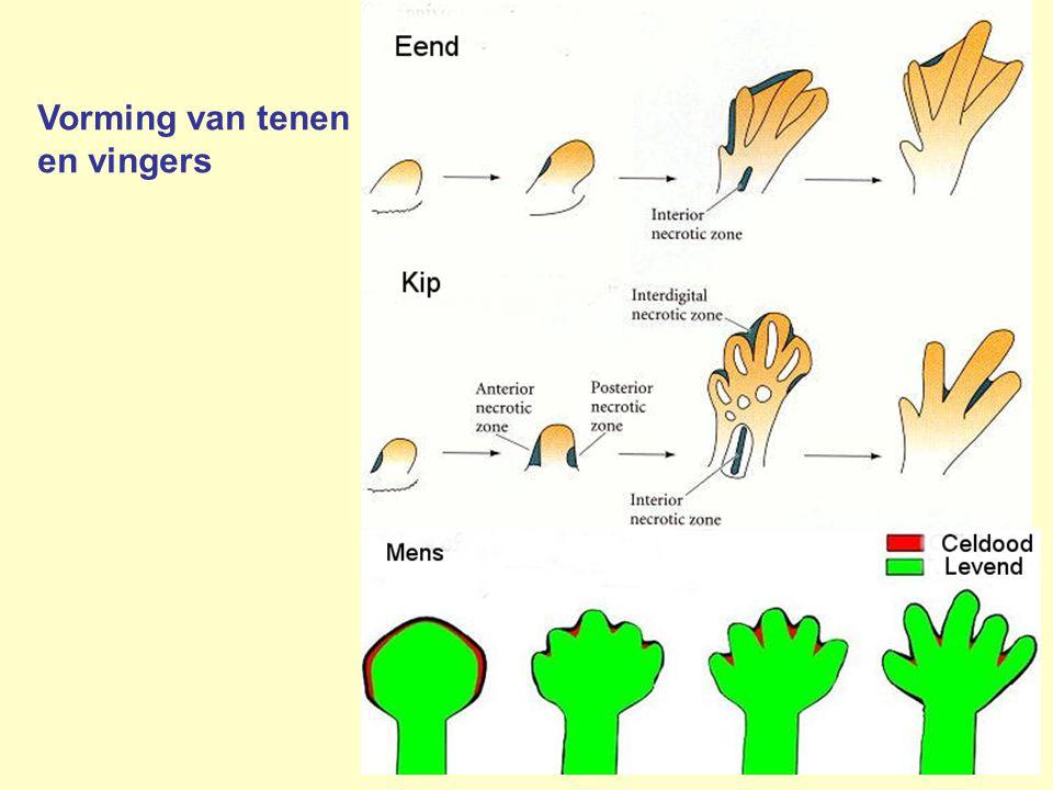 Vorming van tenen en vingers