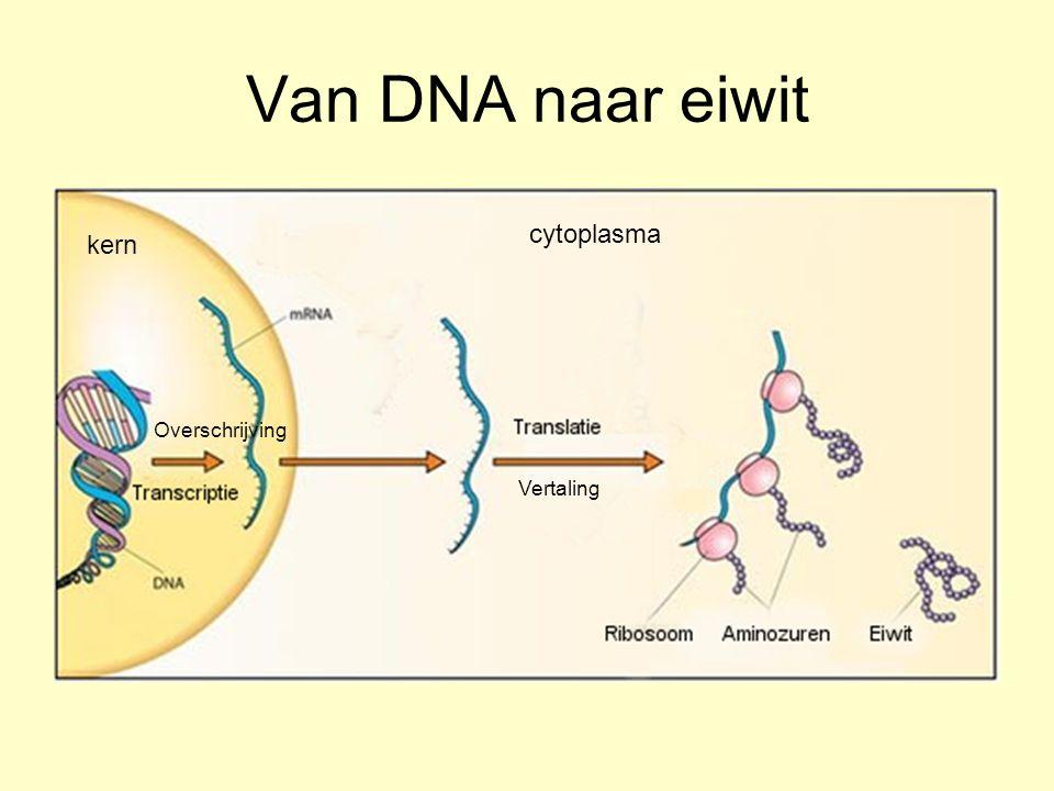 Van DNA naar eiwit cytoplasma kern Overschrijving Vertaling
