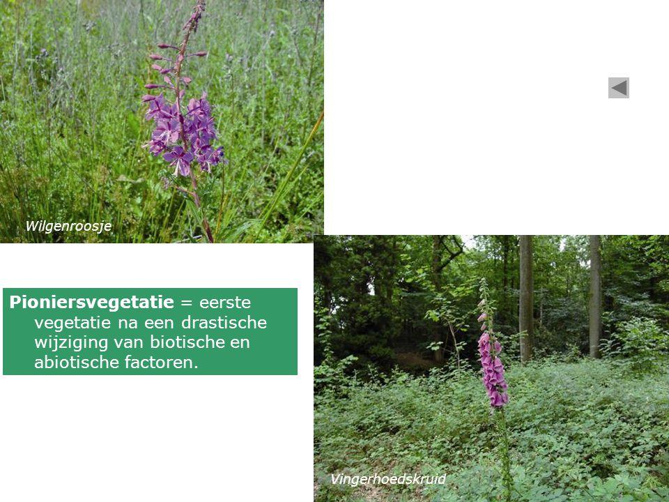 Wilgenroosje Pioniersvegetatie = eerste vegetatie na een drastische wijziging van biotische en abiotische factoren.