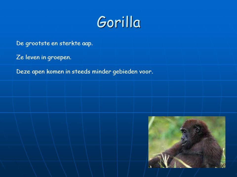 Gorilla De grootste en sterkte aap. Ze leven in groepen.