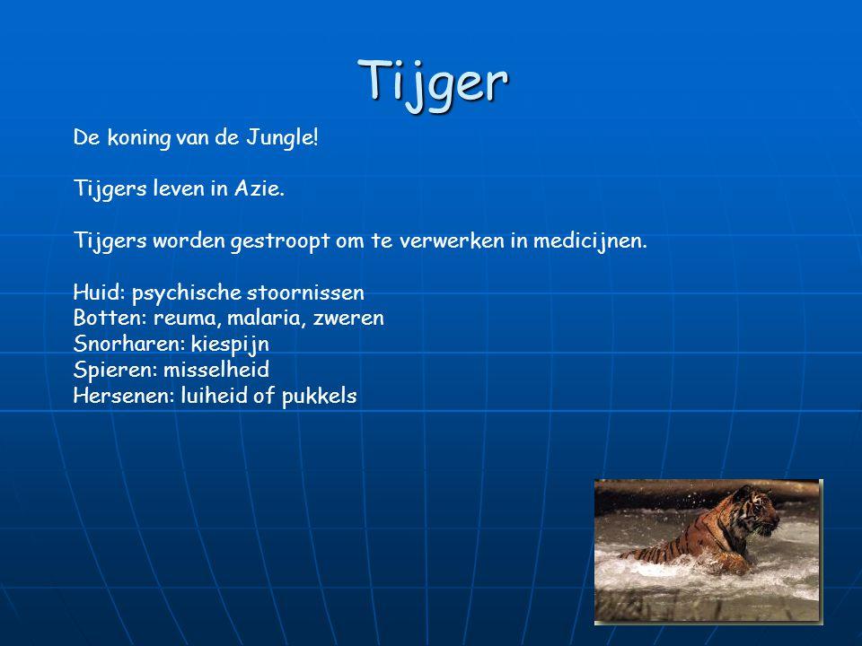 Tijger De koning van de Jungle! Tijgers leven in Azie.