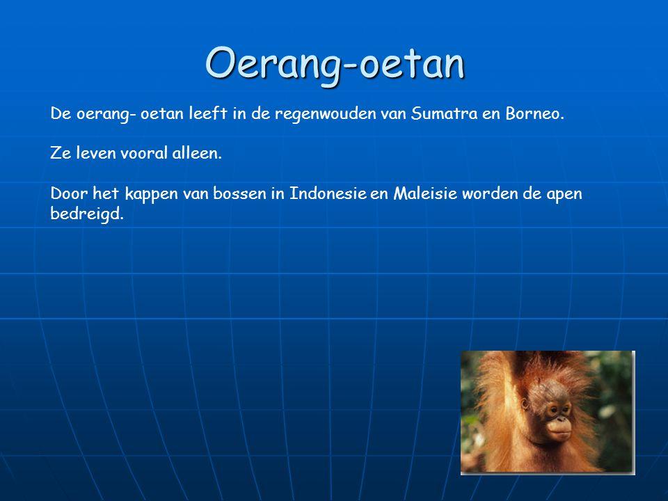 Oerang-oetan De oerang- oetan leeft in de regenwouden van Sumatra en Borneo. Ze leven vooral alleen.