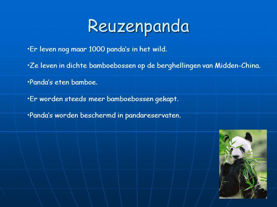 Reuzenpanda Er leven nog maar 1000 panda's in het wild.