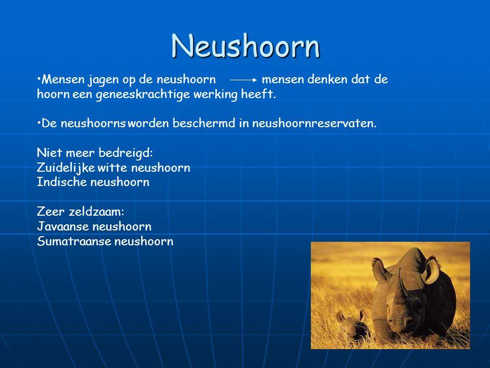 Neushoorn Mensen jagen op de neushoorn mensen denken dat de hoorn een geneeskrachtige werking heeft.