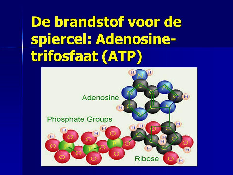 De brandstof voor de spiercel: Adenosine-trifosfaat (ATP)