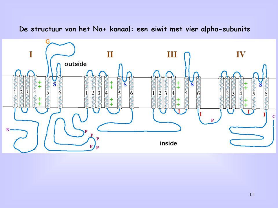 De structuur van het Na+ kanaal: een eiwit met vier alpha-subunits