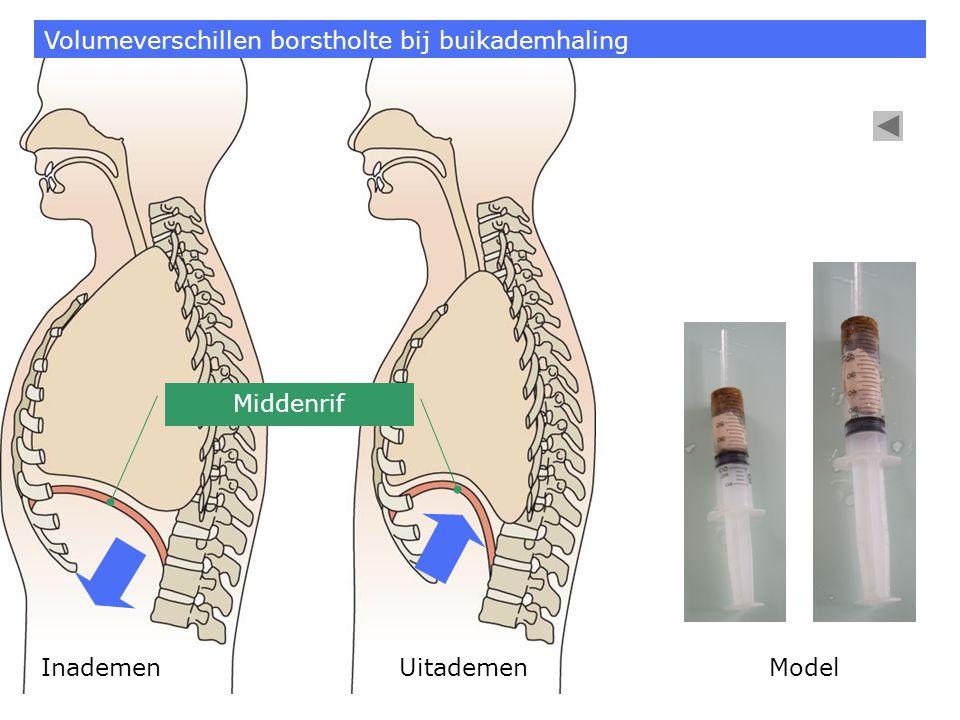 Volumeverschillen borstholte bij buikademhaling
