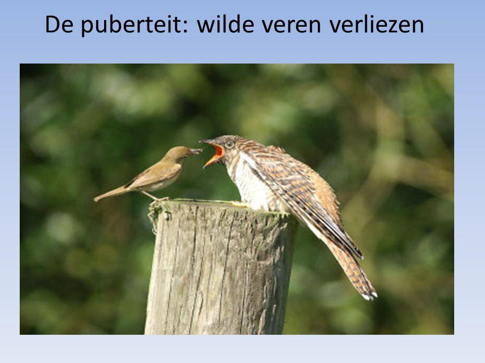 De puberteit: wilde veren verliezen