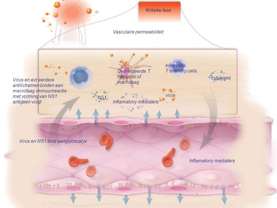 Kritieke fase Vasculaire permeabiliteit. killer cells. T memory cells. Geinfecteerde T helpercel of macrofaag.