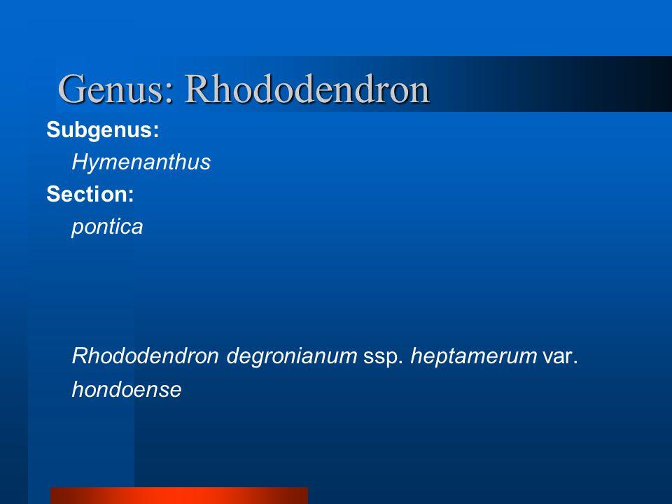 Genus: Rhododendron Subgenus: Hymenanthus Section: pontica