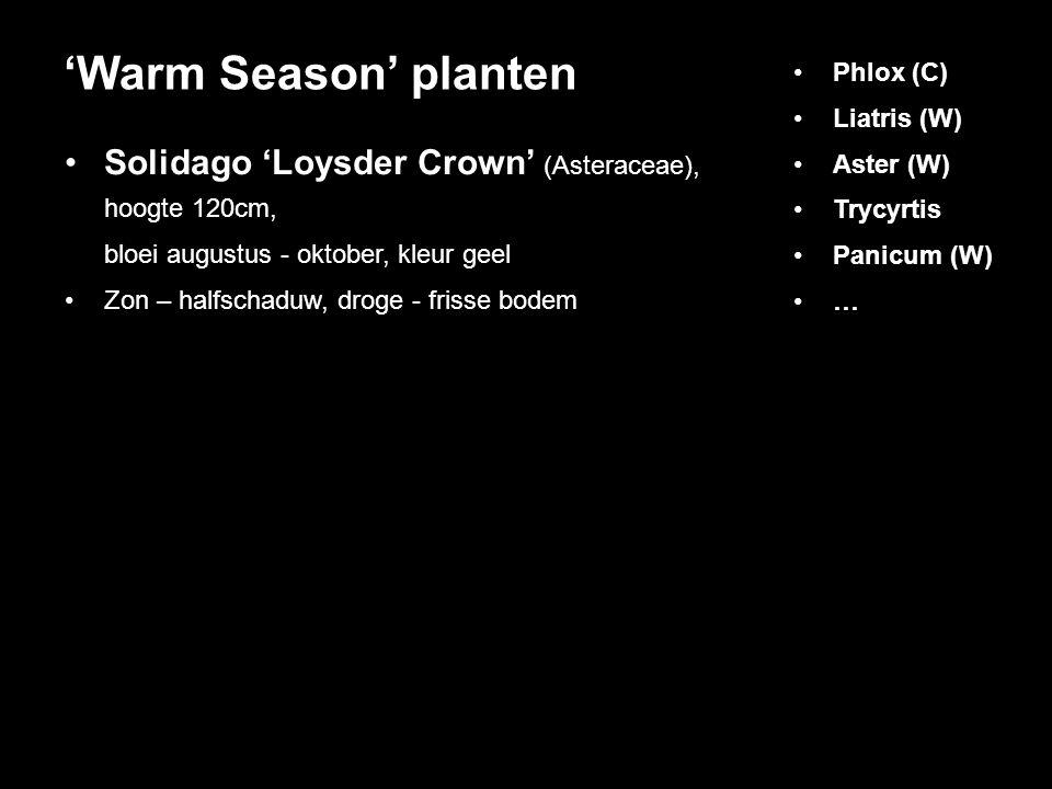 'Warm Season' planten Phlox (C) Liatris (W) Aster (W) Trycyrtis. Panicum (W) … Solidago 'Loysder Crown' (Asteraceae), hoogte 120cm,