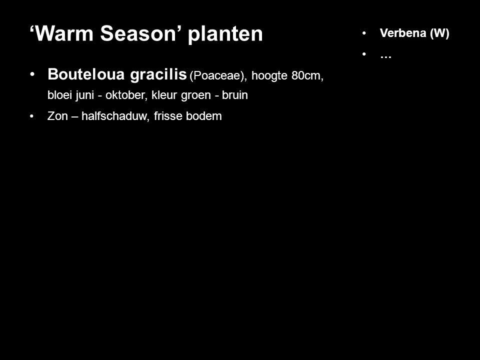 'Warm Season' planten Verbena (W) … Bouteloua gracilis (Poaceae), hoogte 80cm, bloei juni - oktober, kleur groen - bruin.