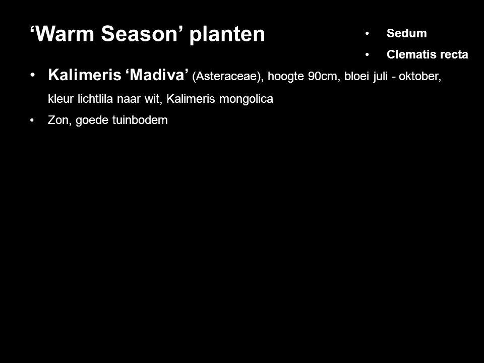 'Warm Season' planten Sedum. Clematis recta. Kalimeris 'Madiva' (Asteraceae), hoogte 90cm, bloei juli - oktober,