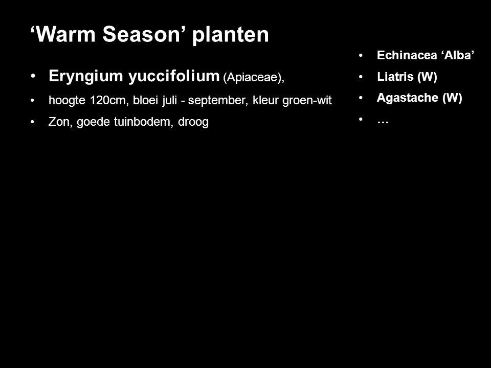 'Warm Season' planten Eryngium yuccifolium (Apiaceae),