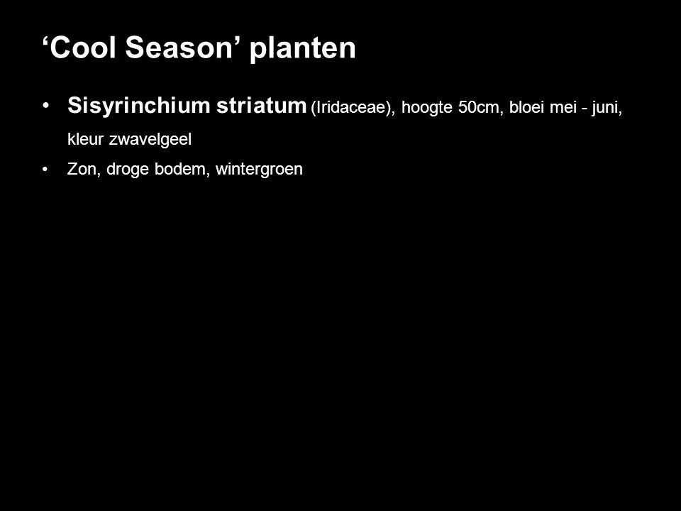 'Cool Season' planten Sisyrinchium striatum (Iridaceae), hoogte 50cm, bloei mei - juni, kleur zwavelgeel.
