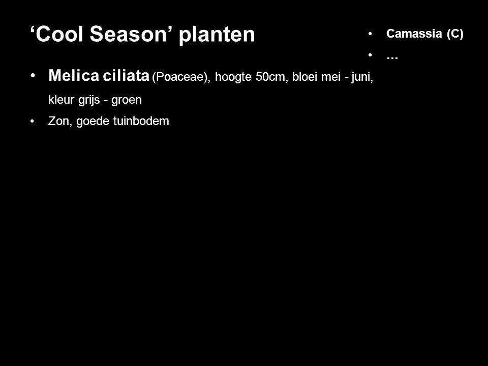 'Cool Season' planten Camassia (C) … Melica ciliata (Poaceae), hoogte 50cm, bloei mei - juni, kleur grijs - groen.