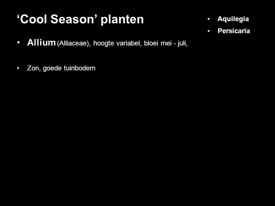 'Cool Season' planten Aquilegia. Persicaria. Allium (Alliaceae), hoogte variabel, bloei mei - juli,