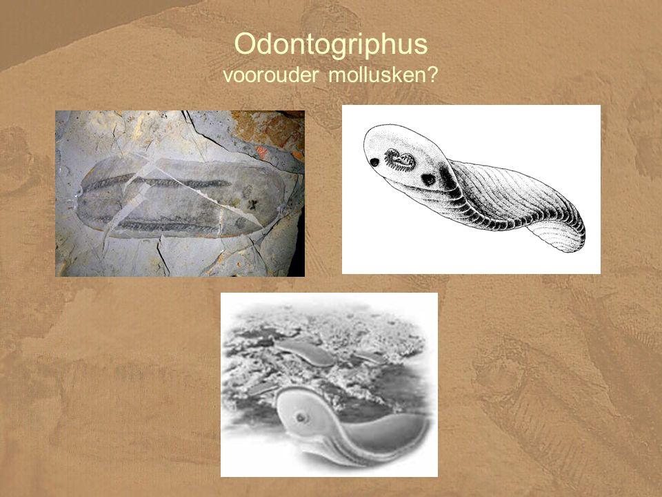 Odontogriphus voorouder mollusken