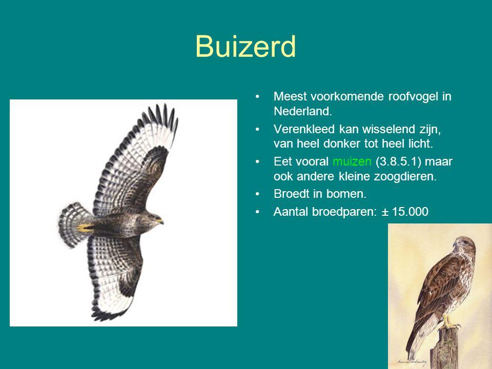 Buizerd Meest voorkomende roofvogel in Nederland.