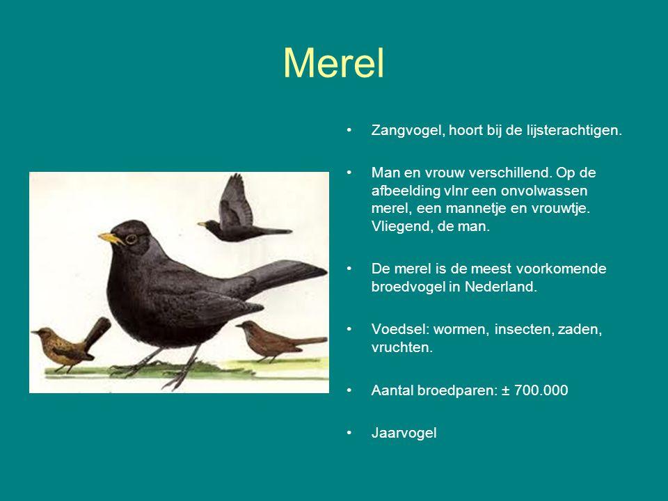 Merel Zangvogel, hoort bij de lijsterachtigen.