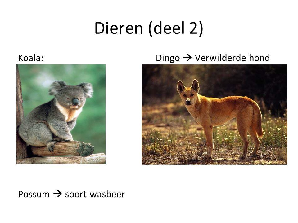 Dieren (deel 2) Koala: Dingo  Verwilderde hond Possum  soort wasbeer