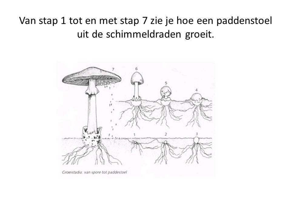 Van stap 1 tot en met stap 7 zie je hoe een paddenstoel uit de schimmeldraden groeit.