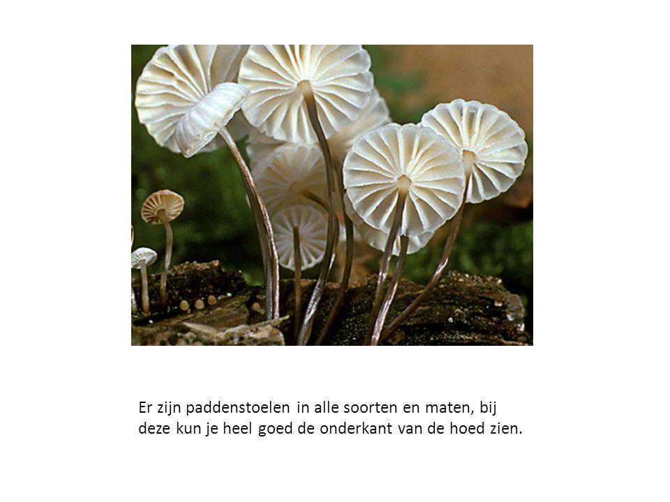 Er zijn paddenstoelen in alle soorten en maten, bij deze kun je heel goed de onderkant van de hoed zien.