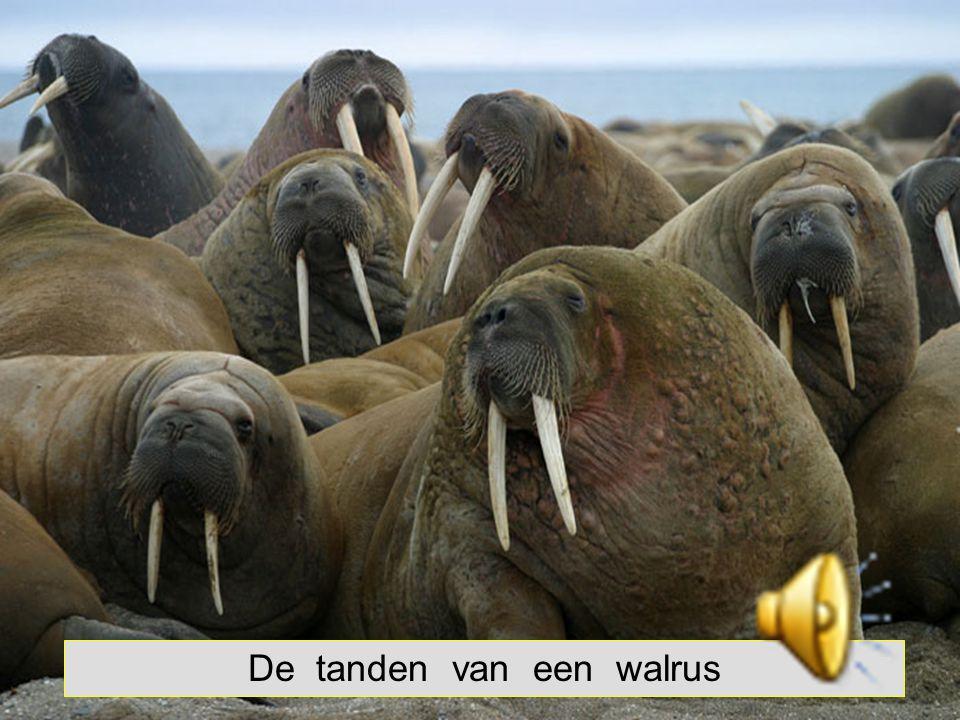 De tanden van een walrus