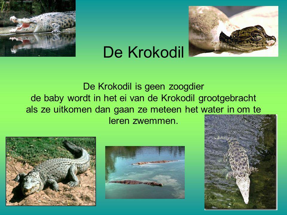 De Krokodil De Krokodil is geen zoogdier de baby wordt in het ei van de Krokodil grootgebracht als ze uitkomen dan gaan ze meteen het water in om te leren zwemmen.