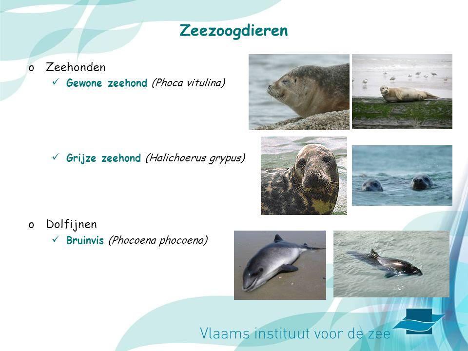 Zeezoogdieren Zeehonden Dolfijnen Gewone zeehond (Phoca vitulina)