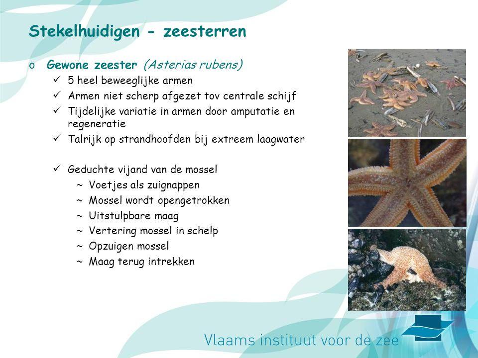 Stekelhuidigen - zeesterren