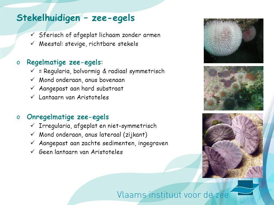 Stekelhuidigen – zee-egels