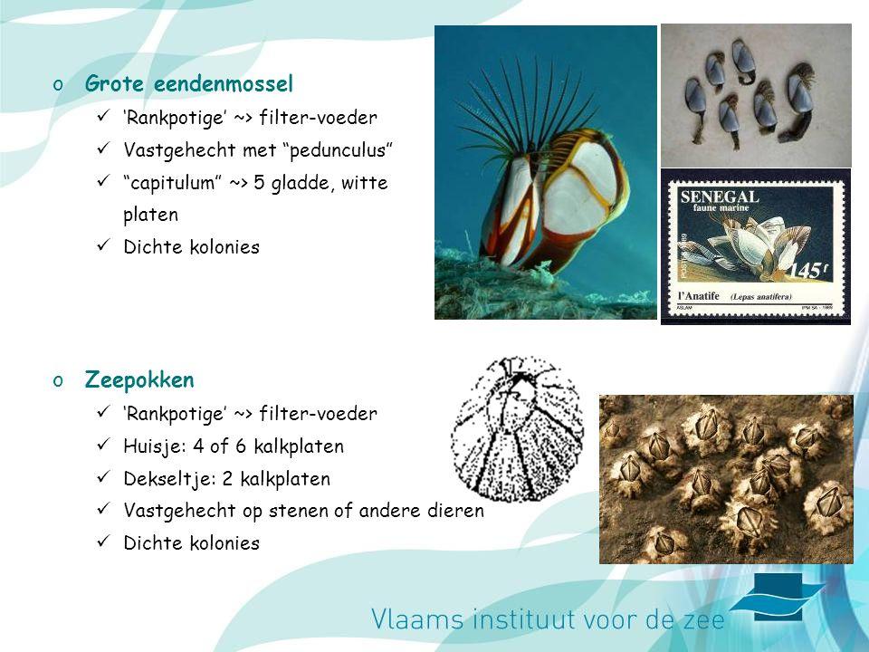 Grote eendenmossel Zeepokken 'Rankpotige' ~> filter-voeder