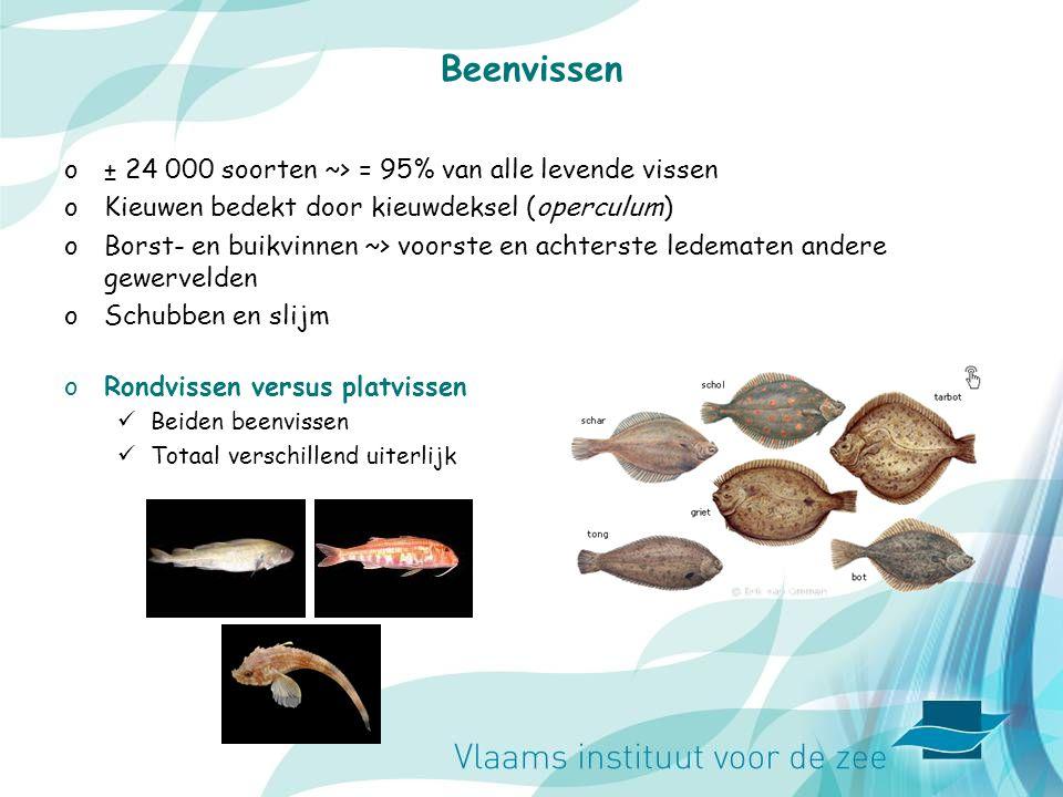 Beenvissen ± 24 000 soorten ~> = 95% van alle levende vissen