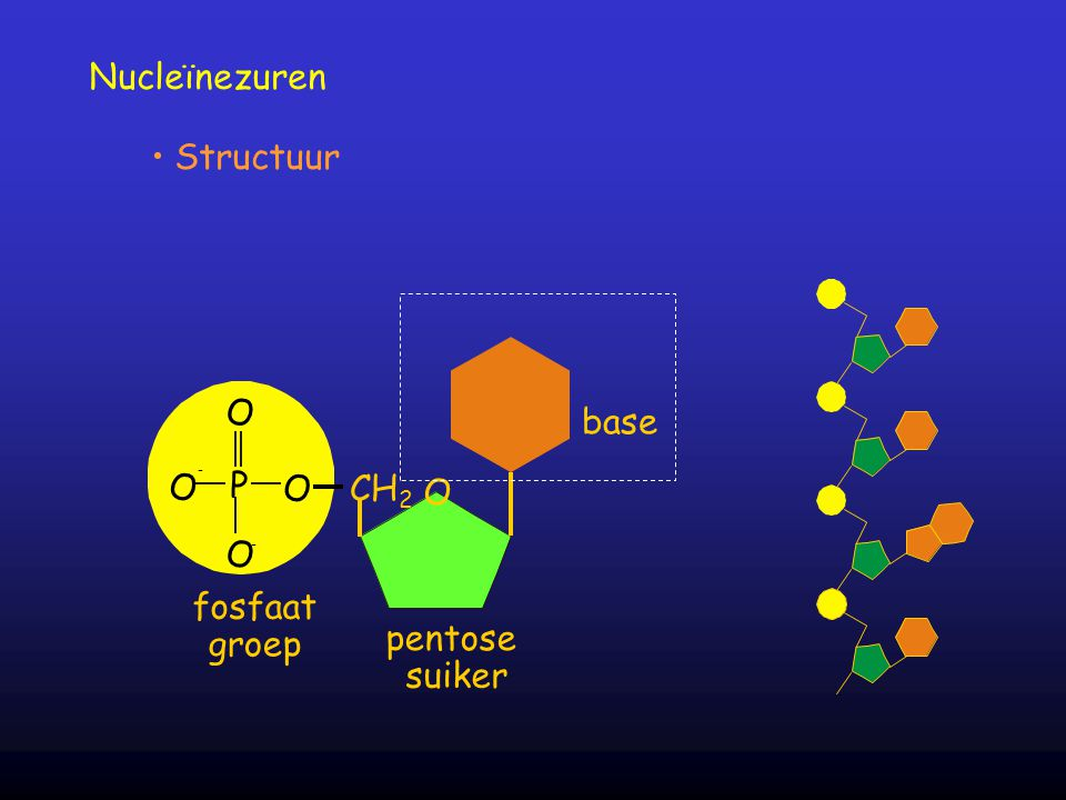 Nucleïnezuren Structuur base O - P fosfaat groep O CH2 pentose suiker