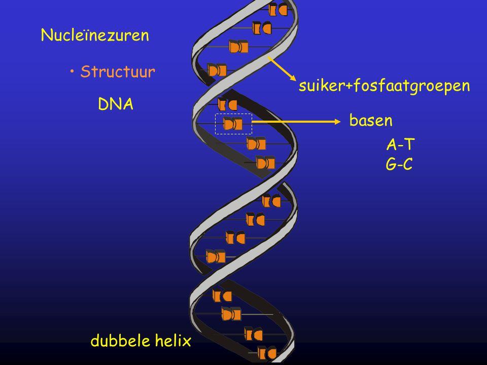 Nucleïnezuren Structuur suiker+fosfaatgroepen DNA basen A-T G-C dubbele helix