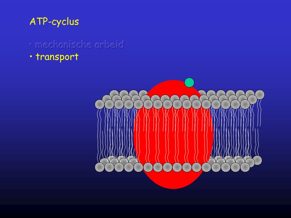 ATP-cyclus mechanische arbeid transport