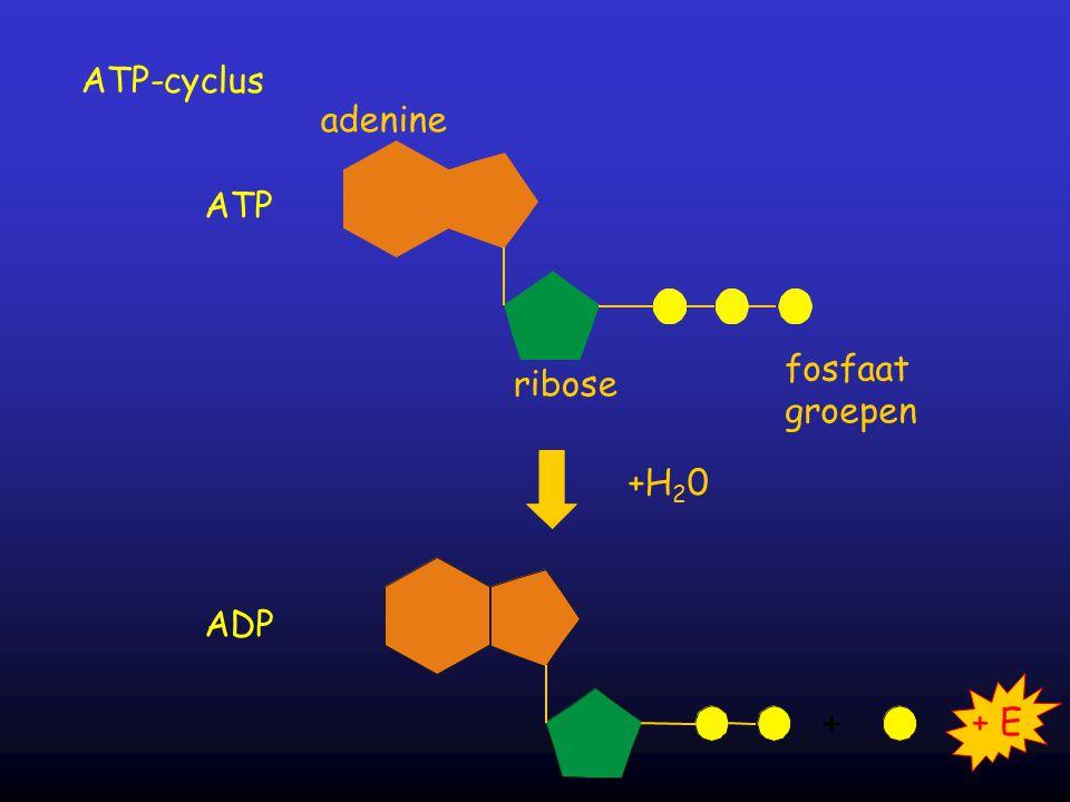 ATP-cyclus adenine ATP ribose fosfaat groepen +H20 + + E ADP