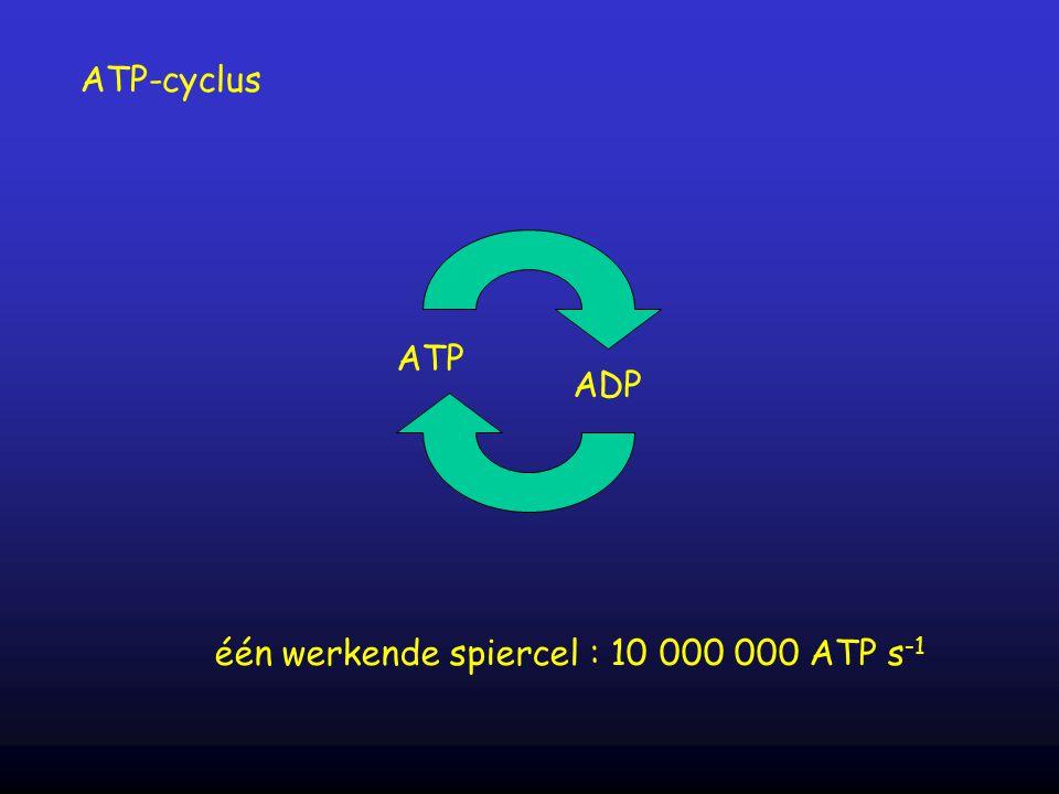 één werkende spiercel : 10 000 000 ATP s-1