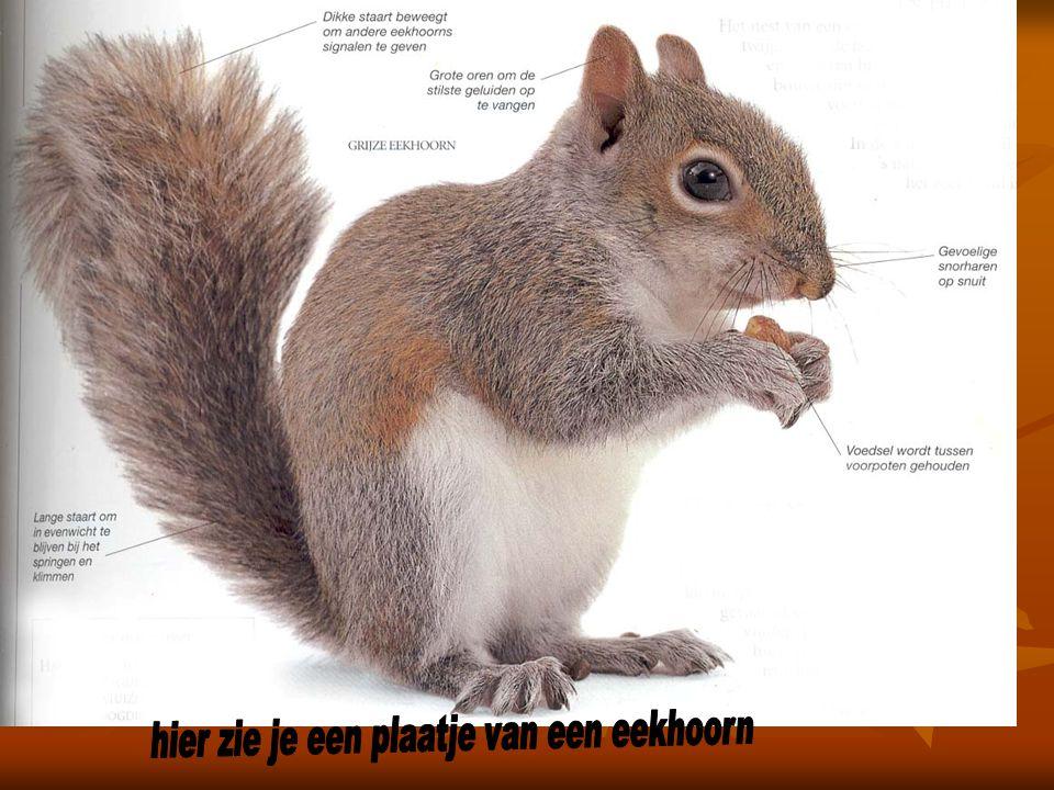 hier zie je een plaatje van een eekhoorn
