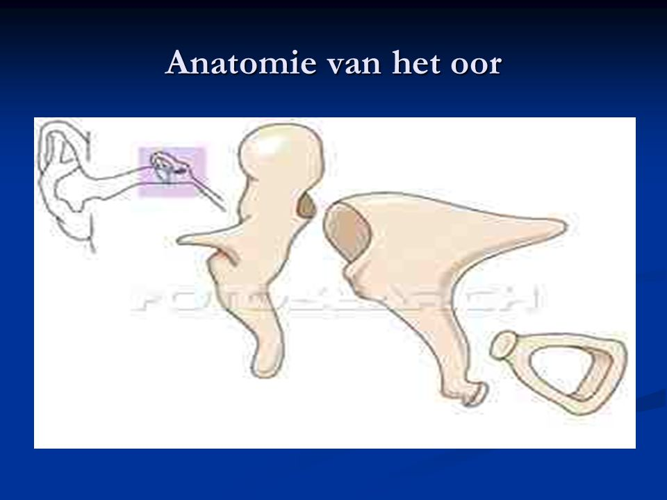 Anatomie van het oor
