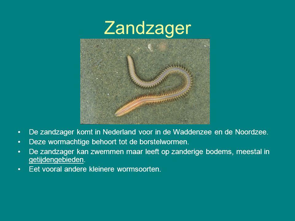Zandzager De zandzager komt in Nederland voor in de Waddenzee en de Noordzee. Deze wormachtige behoort tot de borstelwormen.