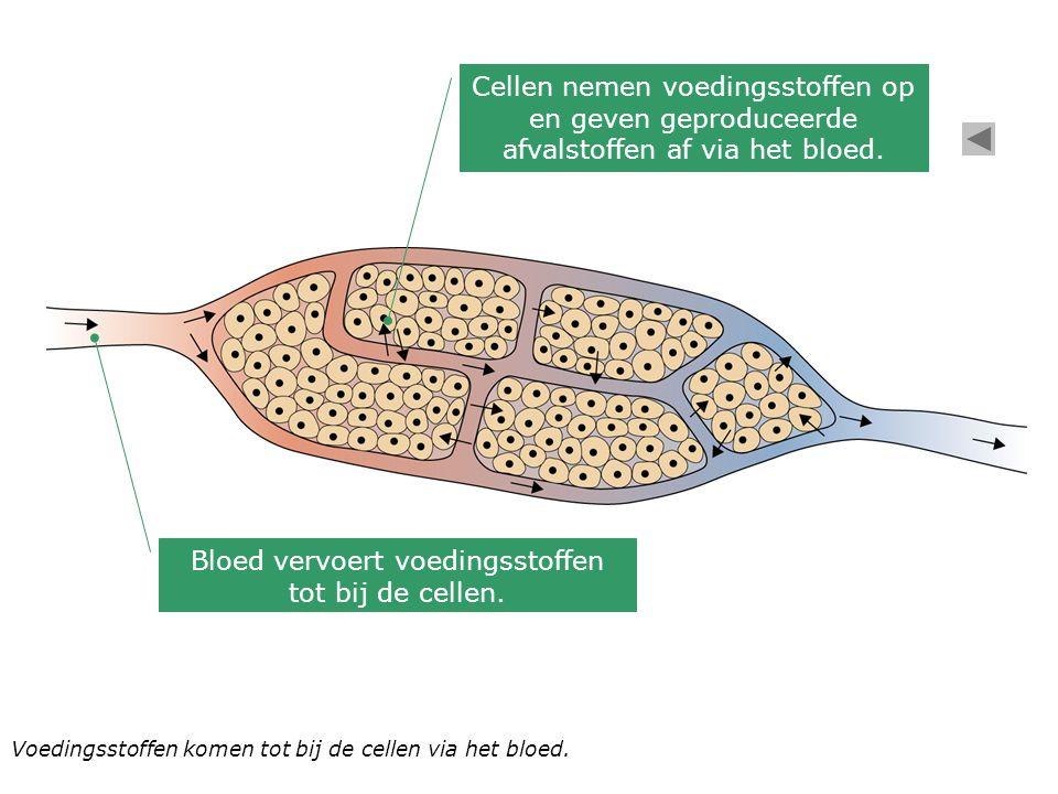 Bloed vervoert voedingsstoffen tot bij de cellen.