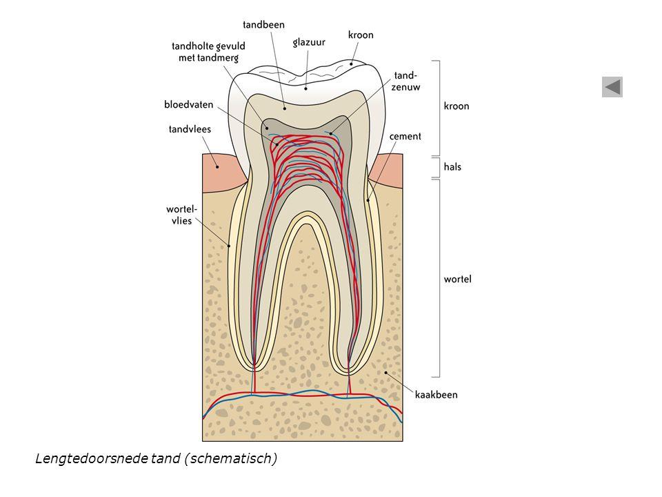Lengtedoorsnede tand (schematisch)