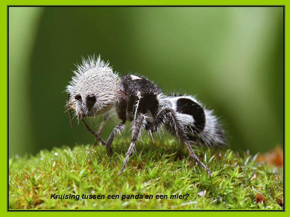 Kruising tussen een panda en een mier
